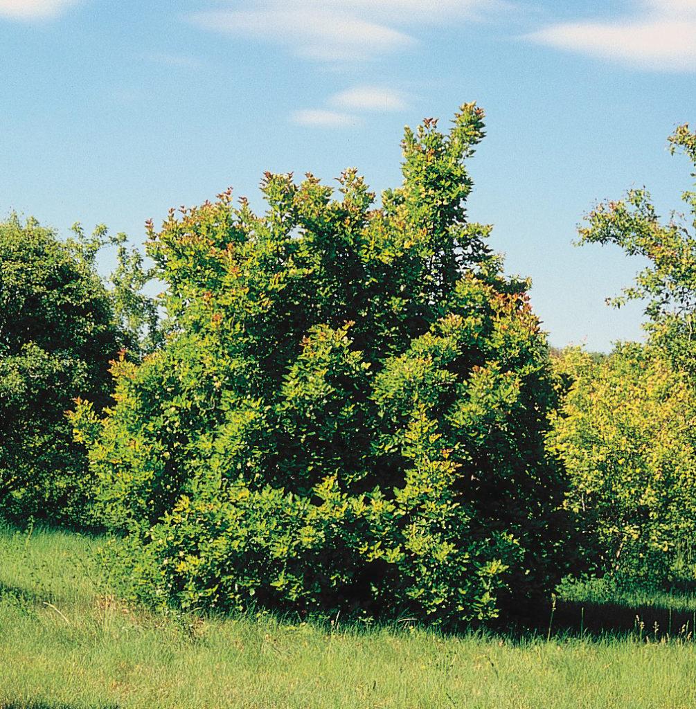 Acer_tataricum_tree